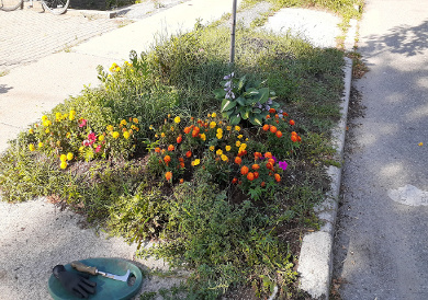 Toronto East York Hellstrip Garden Cleanup Before by Paul Jung Gardening Services--a Toronto Gardening Services Company